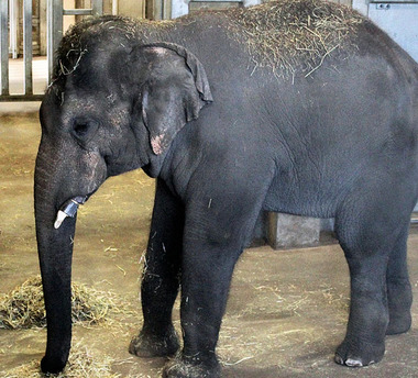 rosamond gifford zoo has new elephant elemotion