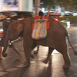 Young elephant crosses the street