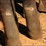 Chain wounds on the legs of a young elephant at trekking camp