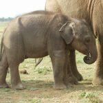 Three-month old Vibhishana, tired and thin.