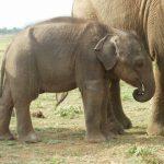 Three-month old Vibhishana, tired and thin