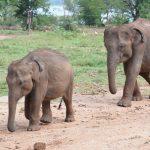 Grusha walks little one to milk feeding